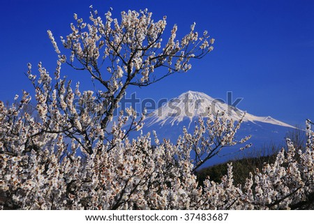 Mt.Fuji and Japanese apricot flower - stock photo