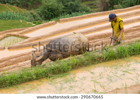 Mu Cang Chai , Vietnam - June 12 ; A man of Hmong  working transplant with buffalo in water season on June 12 , 2015.  Mu Cang Chai , Vietnam