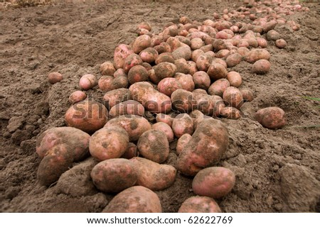 much damp potatoeses