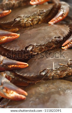 Mud Crabs - Scylla serrata. Unsharpened file - stock photo