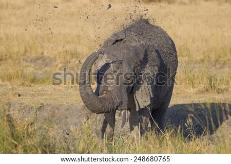 Mud shower - African elephant (Loxodonta africana) - stock photo