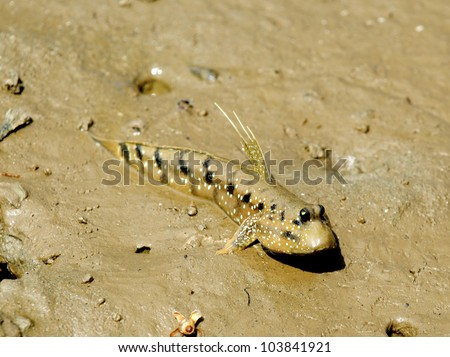 Mud Skipper. - stock photo