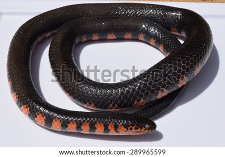 Mud snake in Mississippi - stock photo