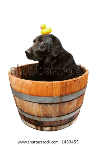 Muddy black english lab, waiting (with his ducky) for a bath. - stock photo