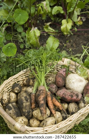 Muddy home grown red and white potatoes, turnip and carrots in a wicker basket. Garden harvest, UK