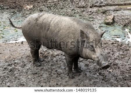 Muddy pig. - stock photo