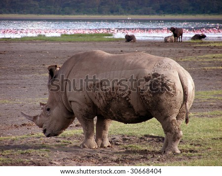 Muddy Rhino grazing with flamingos and water buffalo in the background - stock photo