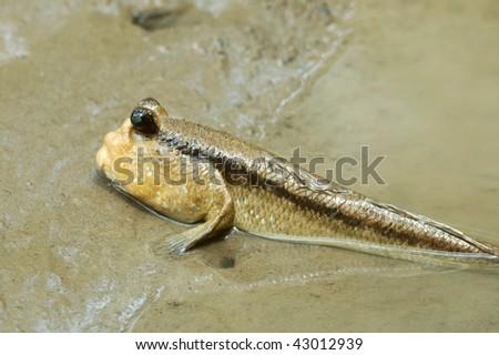 Mudskipper resting on the shore - stock photo