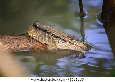 mudskippers - stock photo