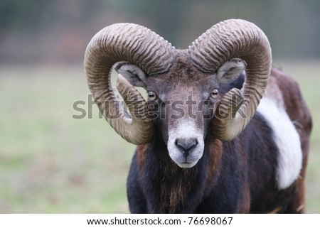 Mufflon portrait - stock photo