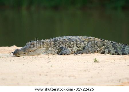 Mugger Crocodile (Crocodylus palustris) in Yala West National Park, Sri Lanka - stock photo