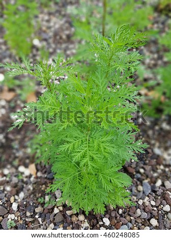 mugwort; Artemisia annua - stock photo