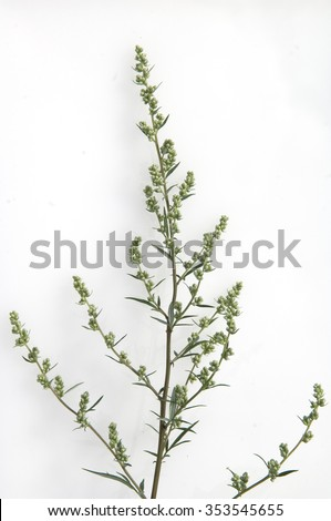 Mugwort; Artemisia; vulgaris - stock photo