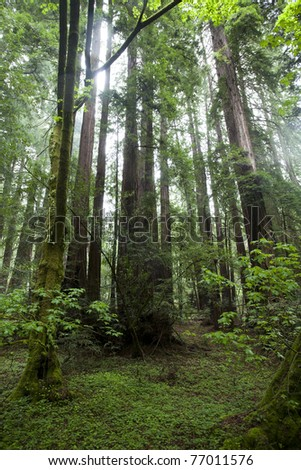 Muir Woods Redwoods National Park - stock photo