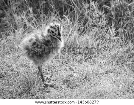 Mul Gull Chick 2 - stock photo