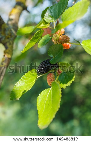 Mulberries growing on tree and developing at different stages - stock photo