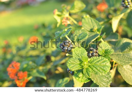 mulberries on a branch at sunset