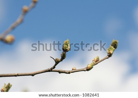 mulberry buds - stock photo