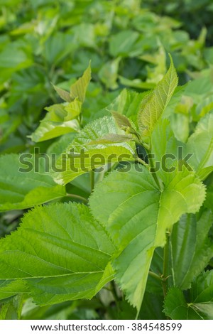 Mulberry leaf tree at field, for feed silkworm.