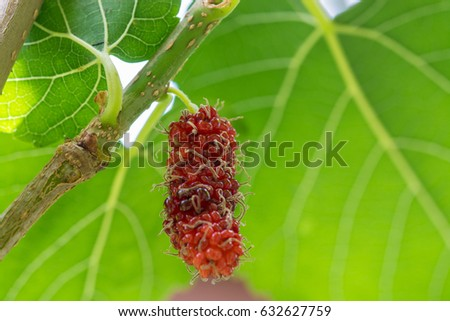 Mulberry on branch.
