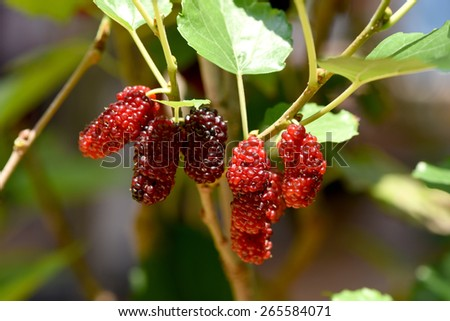 Mulberry on trees. - stock photo