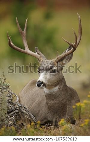 Mule Deer Buck bedded in autumn flora - stock photo