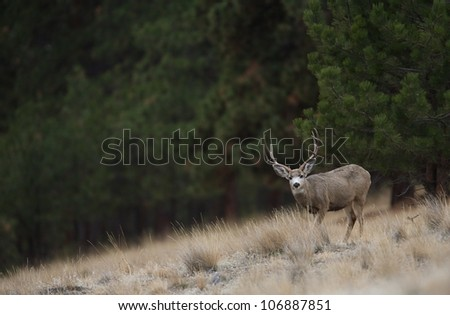 Mule Deer Buck Environmental Image (buck facing camera) - stock photo