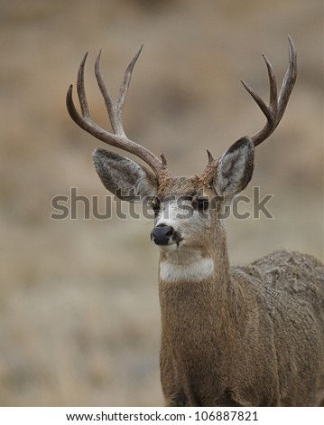 Mule Deer Buck head shot, quartering toward camera