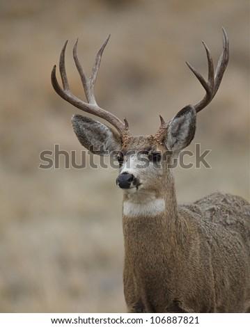 Mule Deer Buck head shot, quartering toward camera - stock photo