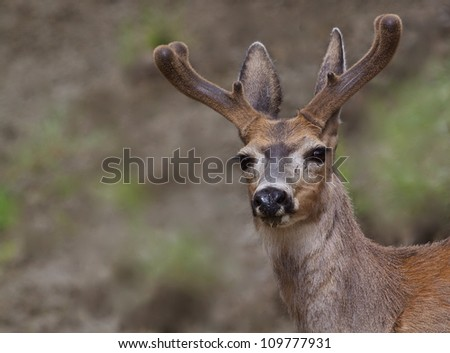 Mule Deer Buck in northern Washington, near the Canadian border; pacific northwest wildlife / nature
