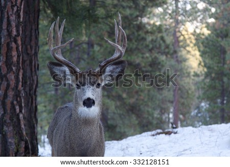 Mule Deer Buck, Odocoileus hemionus, in a winter forest with snow and pine trees in the background