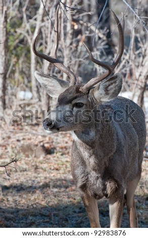 mule deer buck portrait - stock photo