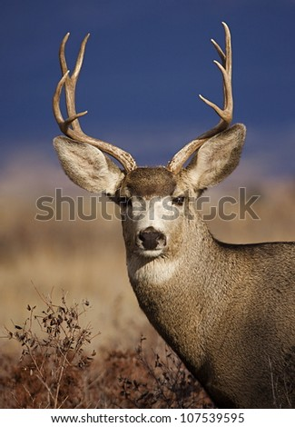 Mule Deer Buck portrait, in warm evening light with striking blue background - stock photo