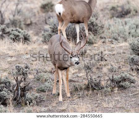 Mule Deer buck with female mule deer in background - stock photo