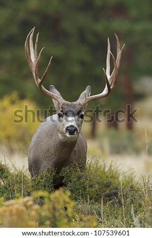 Mule Deer Buck with huge antlers, close-up frontal portrait - stock photo