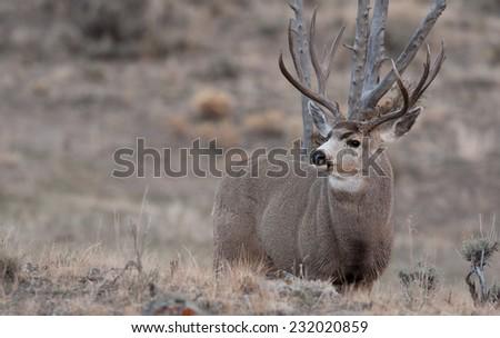 Mule deer bucks during rut - stock photo