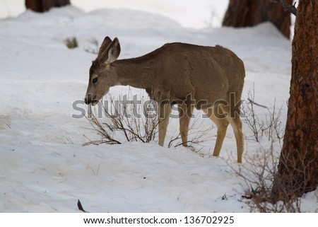 Mule Deer chewing on some sticks, Estes Park, Colorado. - stock photo