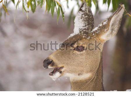 Mule deer doe feeding in winter with snow on its head - stock photo