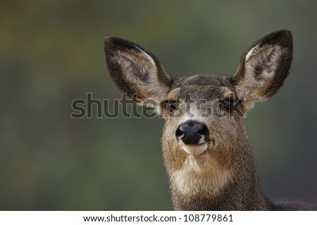 Mule Deer Doe, highly detailed portrait with green background
