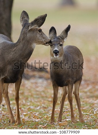 Mule Deer doe nuzzles her fawn - stock photo