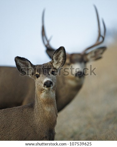 Mule Deer Doe with a buck in the background, during mating season - stock photo