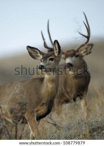 Mule Deer Doe with Buck in Montana - stock photo