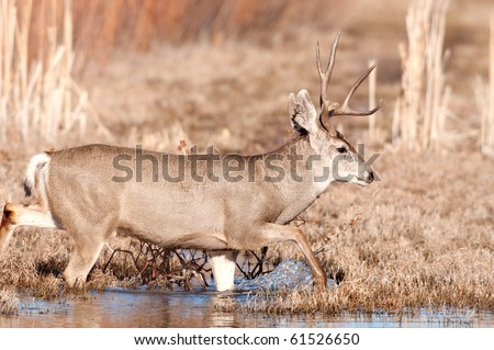 Mule deer duck walks through shallow water in New Mexico