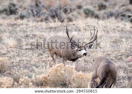 Mule Deer during rut stalking a female - stock photo