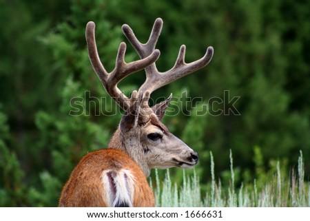 mule deer in sequoia national park - stock photo