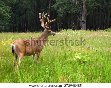 mule deer in Yosemite National Park - stock photo