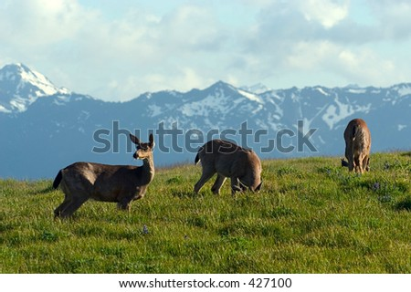 Mule deer pasture by Hurricane Ridge, Olympic National Park, WA - stock photo