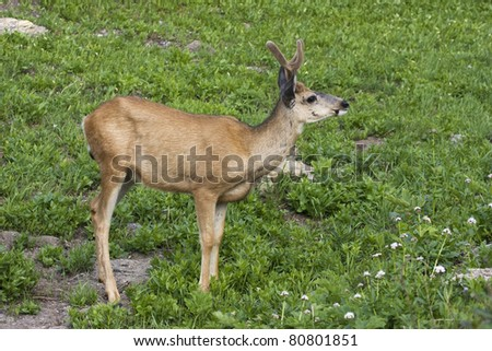 Mule Deer Profile