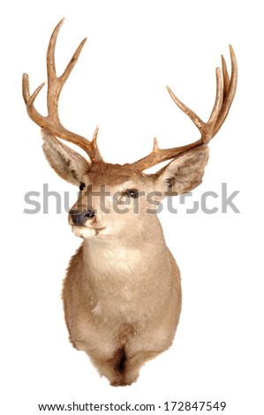Mule deer shoulder mount isolated on white background