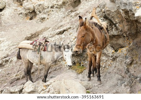 Mule on trail trough Bwahit pass, Simien mountains, Ethiopia - stock photo